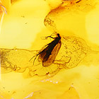 Detail of Baltic amber with Trichoptera insect inclusion